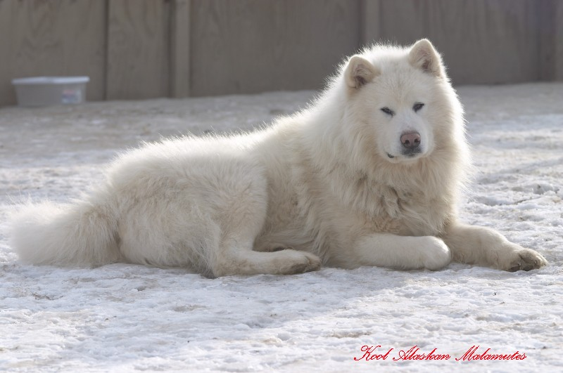 white giant alaskan malamute Quotes