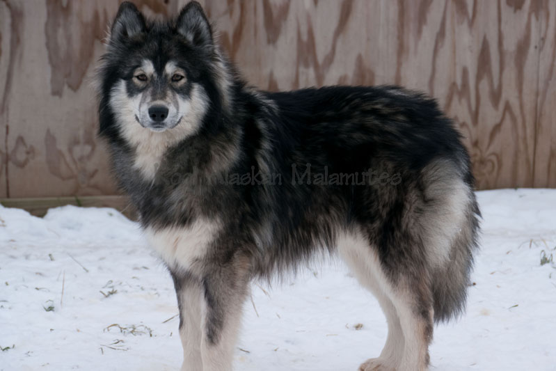 Giant Red Alaskan Malamute Wolf - Pics about space